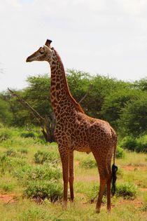 Majestätische Giraffe von ann-foto