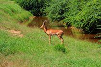 Gazelle, Reh, Tsavo East von ann-foto