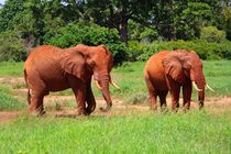 Rote Elefanten in Tsavo East by ann-foto