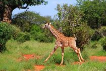 Rennende Giraffe in Tsavo East by ann-foto