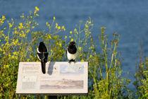 Magpies Keeping Watch, Pendennis Point von Rod Johnson