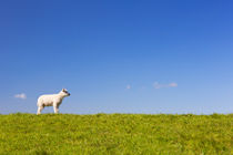 Texel lamb on the island of Texel, The Netherlands von Sara Winter