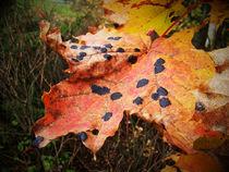 Herbstahorn von Johanna Knaudt