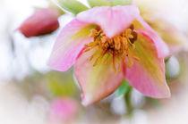 Easter Rose von Thomas Matzl