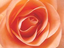 Rose, orange von darlya