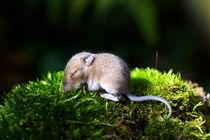 Nachwuchs bei Familie Maus von gugigei