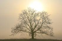 Baum in der Nebelsonne by Bernhard Kaiser