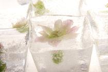Crassulaceae in Ice 1 by Marc Heiligenstein