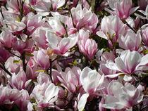 Magnolien von Thomas Brandt