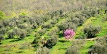 .. rosa .. im Olivenhain .. by gugigei