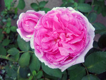 Special Pink by Hans-Georg Kasper