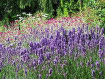 Lavendel von Cebo Seyb