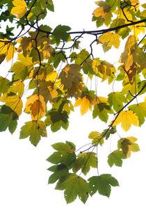 Ahornlaub gelb und grün von STEFARO .