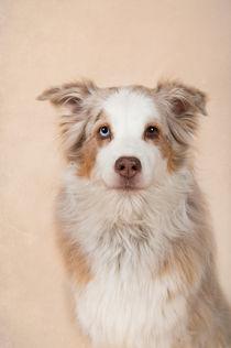 Australian Shepherd / 3 by Heidi Bollich