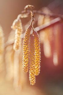 Gemeine Hasel - Corylus avellana - männliche Blüten by Peter Eggermann
