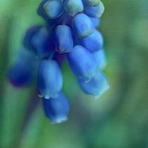 Blaue Traubenhyazinthe von Josephine Mayer-Hartmann