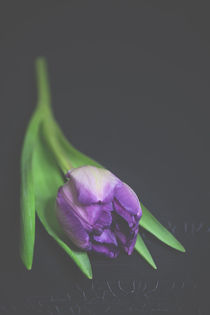 Tulip by Susi Stark