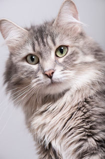 Sibirische Katze / 5 von Heidi Bollich