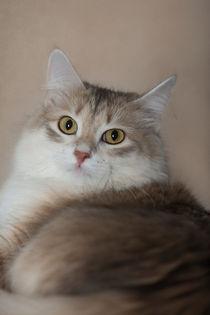 Sibirische Katze / 2 von Heidi Bollich