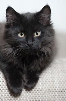 Sibirer Kitten / 5 von Heidi Bollich