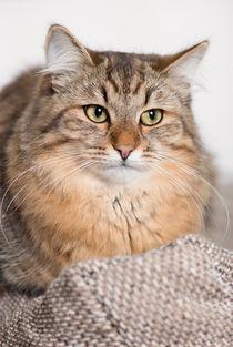 Sibirische Katze / 4 by Heidi Bollich