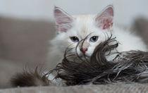 Neva Masquarade Kitten / 2 von Heidi Bollich