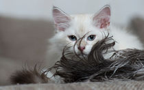 Neva Masquarade Kitten / 2 by Heidi Bollich