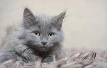 Sibirer Kitten / 6 von Heidi Bollich
