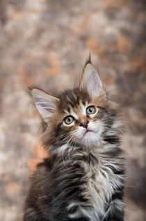 Maine Coon Kitten / 61 by Heidi Bollich