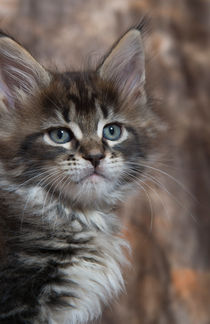 Maine Coon Kitten / 65 by Heidi Bollich