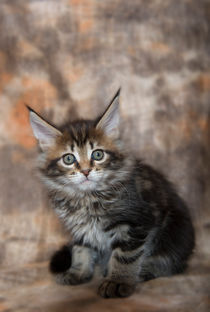 Maine Coon Kitten / 64 by Heidi Bollich
