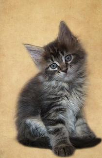 Maine Coon Kitten / 60 by Heidi Bollich