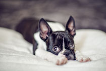 Fina the Boston Terrier by Nailia Schwarz