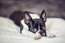 Boston-terrier-puppy-01