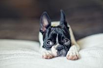 Boston-terrier-puppy-02