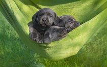 Labrador Welpen / 31 von Heidi Bollich