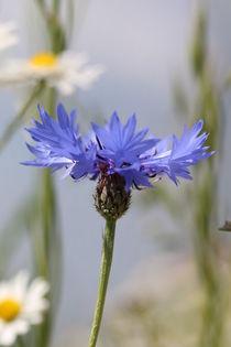 La Blue Bild 9484 von Alfons Kühnert