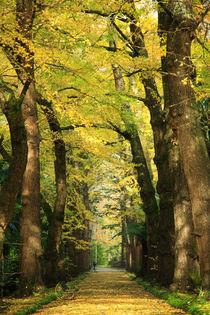 Ginkgo biloba trees by Gaspar Avila