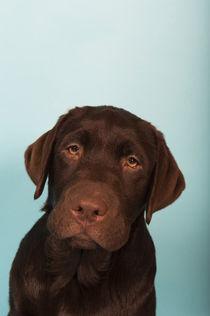 Labrador Welpe / 68 von Heidi Bollich