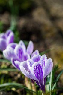 Krokus Blüten in einer Reihe von Gerhard Petermeir