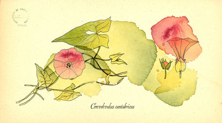 Convolvus-cantabricus