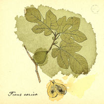 Ficus Carica by mare