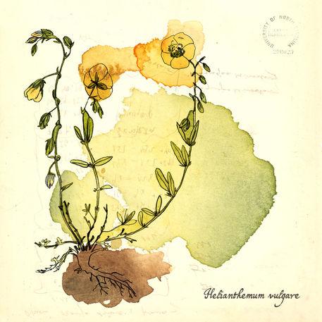 Helianthemum-vulgare