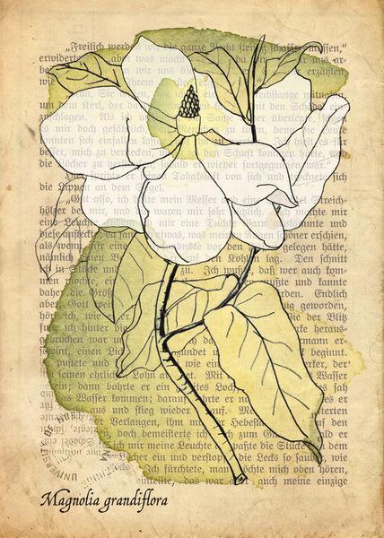 Magnolia-grandiflora-4