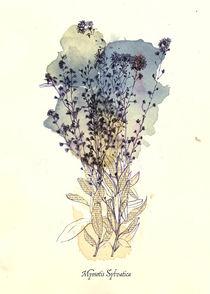 Myosotis Sylvatica by mare