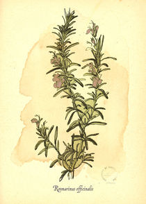 Rosmarinus Officinalis by mare
