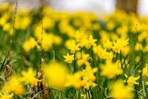 Narzissen oder Osterglocken als Fruehlingsblumen by Mario Hommes