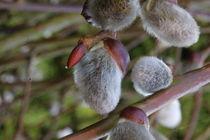 Weidenkätzen in der Blüte von Simone Marsig