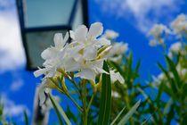 Blume, weisse Blume by la-amante