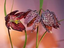 Blüte der Schachbrettblume (chess flower) von Dagmar Laimgruber